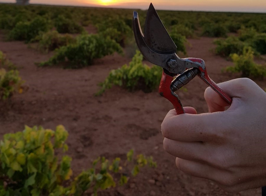 Tijeras de vendimia en un viñedo acogido a la D.O. La Mancha