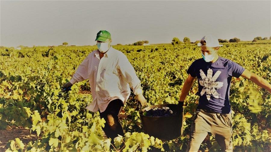 Vendimiadores portan una espuerta de uva tempranillo D.O. La Mancha